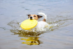 Dog running in water fetching plastic disk in mouth Stock Image