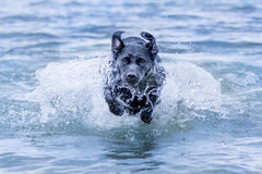 Dog running in water. Labrador dog running in shallow sea at a beach in Malmö, Sweden Stock Image