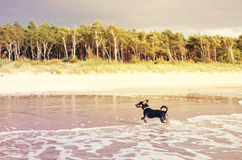 Dog Running in water Royalty Free Stock Photos