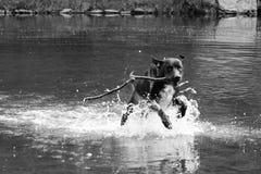 Dog Running on Water stock image