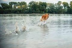 Dog running in the water, splash Stock Photos