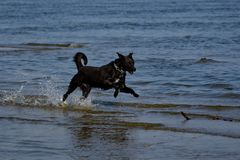Dog running to fetch stick at the beach. Dog running through the water to fetch stick at the beach royalty free stock images