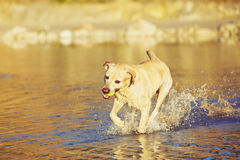 Dog is running in the water Royalty Free Stock Photos