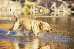 Dog is running in the water Royalty Free Stock Photo