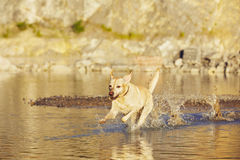 Dog is running in the water Stock Photography