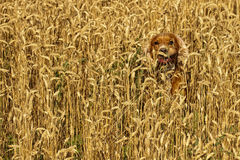 Dog running in the weath field Royalty Free Stock Photo