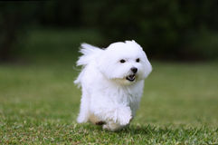 Dog Running. A white maltese dog running on green grass background Stock Photos