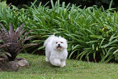 Dog Running. A white maltese dog running on green grass and plants background Stock Image
