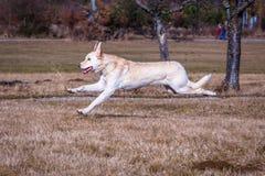 Dog running. White mare mano mix running Royalty Free Stock Photography
