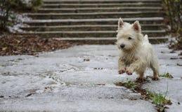 Dog running Royalty Free Stock Image