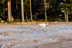 Dog running through winter beach. Jack Russell Terrier playing on snow sand Stock Photography