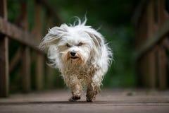 Dog runs across a bridge Royalty Free Stock Image