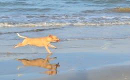 Dog runs along the seashore Stock Photos