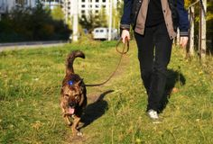 The dog runs alongside the owner on the grass for a walk in the city Stock Images