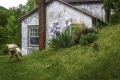 Dog Runs around Country Cottage Stock Image