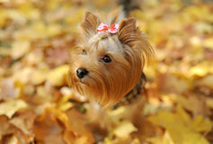 The dog runs on autumn park Stock Images