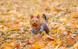 The dog runs on autumn park Royalty Free Stock Photos