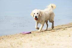 Dog runs on the beach Royalty Free Stock Photos