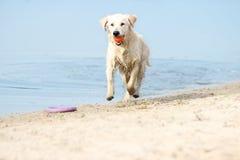 Dog runs the beach Royalty Free Stock Photography