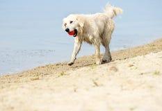 Dog runs on the beach Stock Image