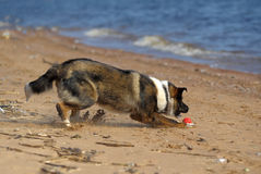 Dog runs on the beach Stock Photos