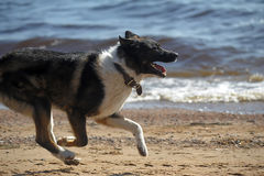 Dog runs on the beach Royalty Free Stock Photo