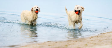 A dog runs the beach in a spray of water Stock Photography