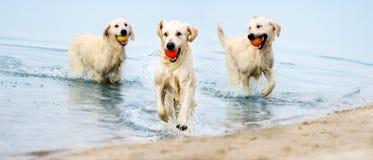 A dog runs the beach in a spray of water. A golden retriever Stock Images