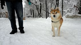 Dog runs behind the camera. Muzzle close up. In the background is a snowy park stock video footage