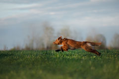 The dog runs on the field Royalty Free Stock Photography