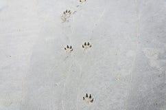 Dog footprints on the sand. The dog runs forward footprints on the sand Stock Photography