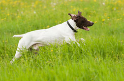 Dog runs on a green grass Royalty Free Stock Image