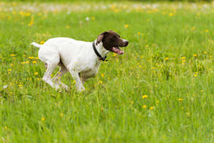Dog runs on a green grass Stock Photos