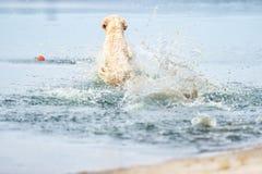 A dog runs and jumps Royalty Free Stock Photo