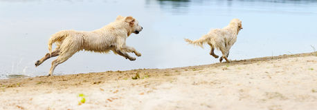 A dog runs and jumps on the beach. A dog runs and jumps Royalty Free Stock Photography