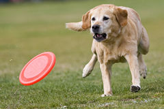 Dog runs playfully after the frisbee. Royalty Free Stock Photo