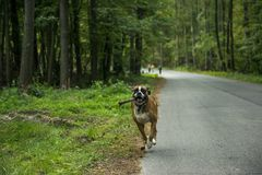 Dog runs on the road in the forest stock photography