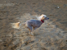 Dog runs on sand. Chinese Crested Dog runs on sand. Shallow DOF Royalty Free Stock Photo