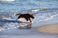 A dog runs by the sand beach along the sea surf. stock photography