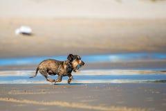 Dog runs on the seashore Royalty Free Stock Image