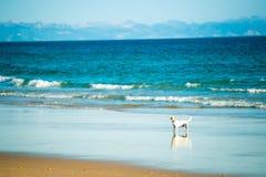 Dog runs on the seashore Royalty Free Stock Photos