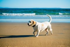 Dog runs on the seashore Royalty Free Stock Photo