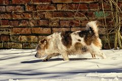 Mongrel runs through the snow against the background of the old brick wall. Dog runs through the snow against the background of the old brick wall Royalty Free Stock Photo