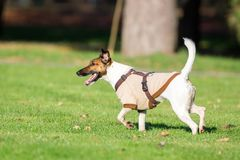 Running dog on grass Royalty Free Stock Images