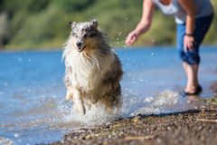 Dog runs after a thrown toy Stock Photo