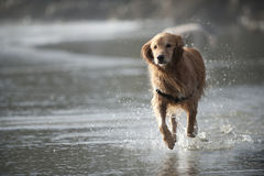 Dog runs towards camera 4 Stock Photography