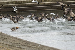 Dog runs into water after the birds. A small dog runs into the water chasing after the birds in Coeur d`Alene, Idaho stock image