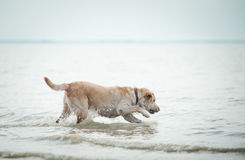 Dog runs on water Royalty Free Stock Images