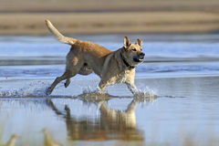 Dog runs on water Royalty Free Stock Photos