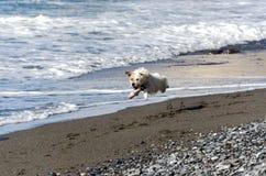 Dog runs into the waves Royalty Free Stock Photo